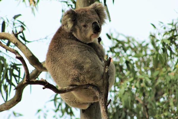 KOALA A RAYMOND ISLAND VICTORIA AUSTRALIE