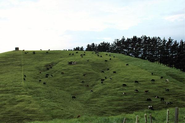 VACHES ENTRE TAIHAPE ET ASHHURST CENTRE ILE DU NORD NZ