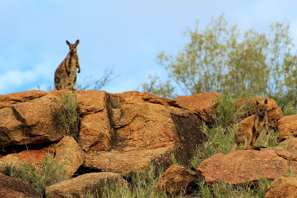 EURO WALLABIES AU PARC TELEGRAPH STATION A ALICE SPRINGS AUSTRALIE