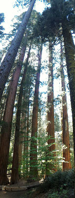 PANORAMIQUE SEQUOIAS A MARCED GROVE YOSEMITE NP CALIFORNIE