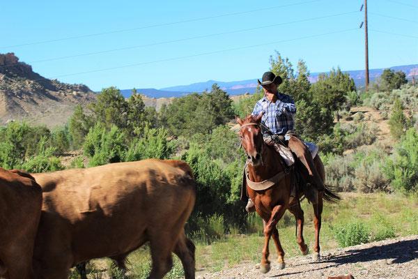 UN TROUPEAU CONDUIT PAR DES COWBOYS SUR SCENIC DRIVE LA ROUTE ENTRE BRYCE CANYON NP ET CAPITOL REEF NP UTAH