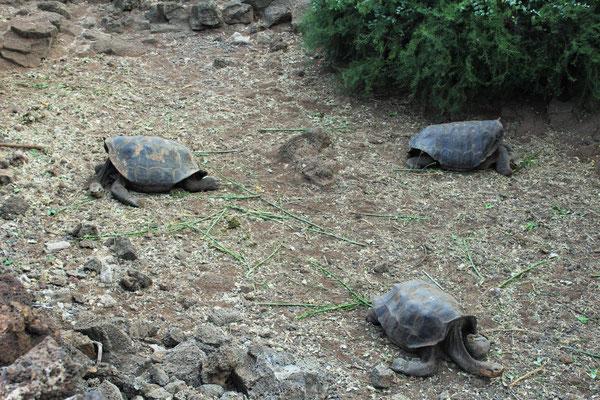 TORTUES GEANTES A LA FONDATION DARWIN ILE DE SANTA CRUZ GALAPAGOS EQUATEUR