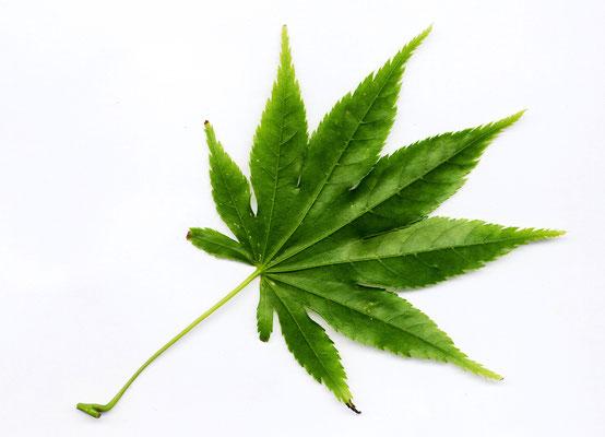 ヘンプの葉
