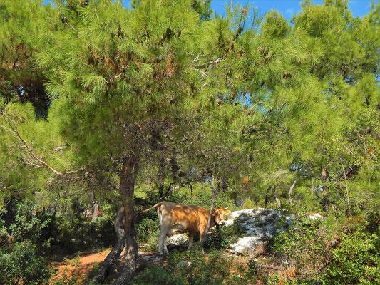 tipica mucca al pascolo nelle pinete del Gargano
