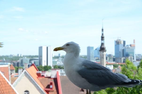 Tallinn - Möwe vom Tourismusverband angestellt