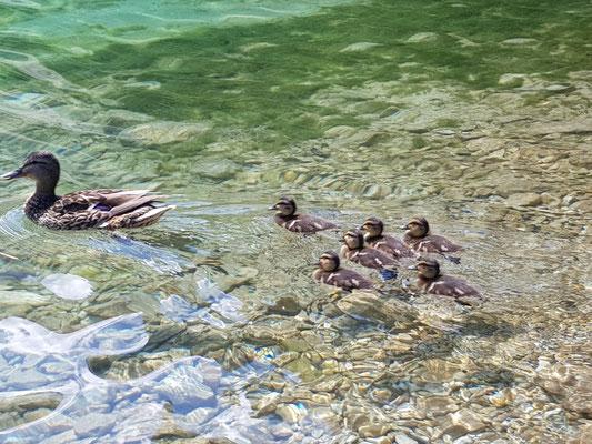 Entenfamilie im Wasser