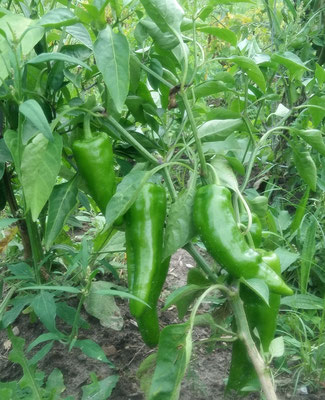 Peppers to Harvest