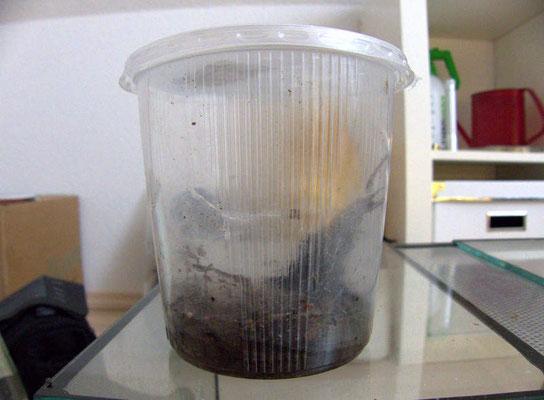 Behälter für eine Vogelspinne mit zu wenig Bodensubstrat