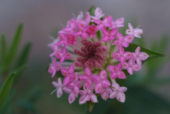Rose Banjine (Pimelea rosea)
