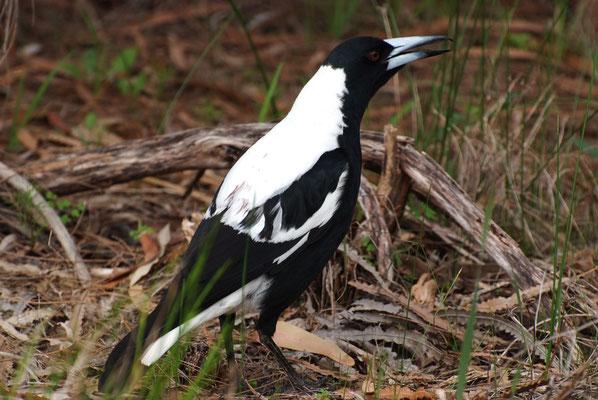 Australian Magpie