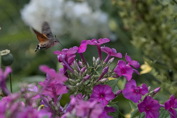 Taubenschwänzchen saugt im Schwirrflug  an Phloxblüte