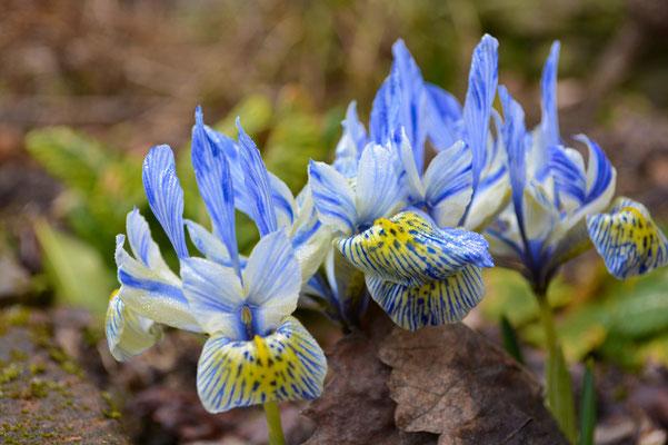 Die erste Irisblüte im Jahr