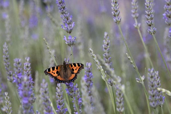 Kleiner Fuchs am Lavendel