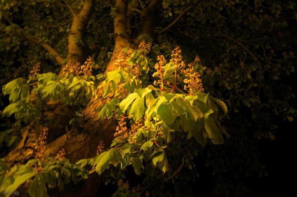 Kastanienblüten in der Nacht