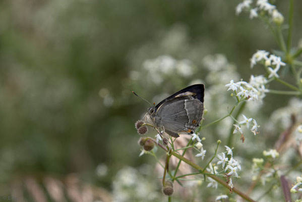 Blauer Eichen-Zipfelfalter - Favonius quercus