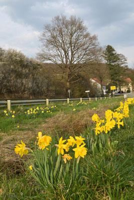 Narzissenblüte am Vinxtbach
