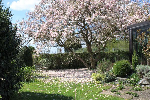 Blühende Magnolie mit Sitzgelegenheit