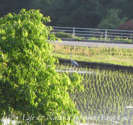 ♡ 田園と野鳥