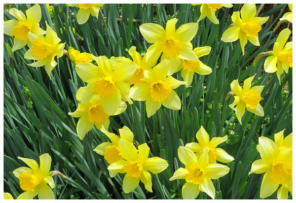 ♡ Livie Spring flowers 水仙