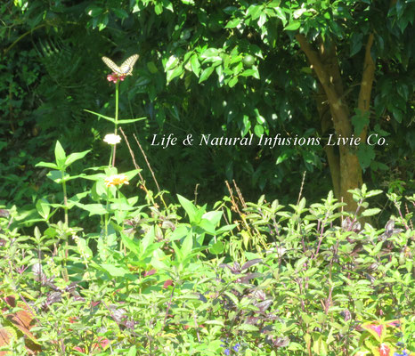 🦋BUTTERFLY 揚羽蝶と草花 Life & Natural Infusions Livie Co.