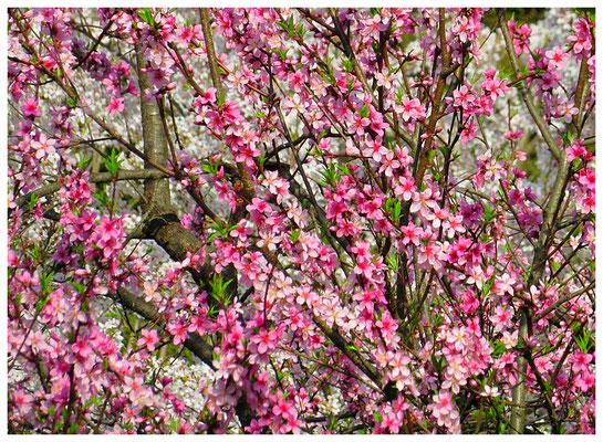 ♡ Livie Spring flowers 桃