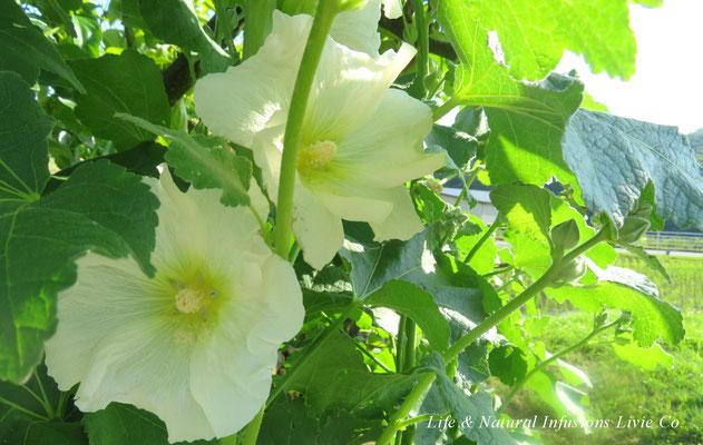 季節の花々 立葵 Life & Natural Infusions Livie Co.