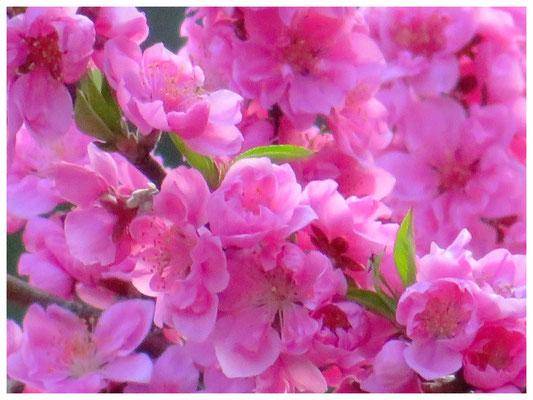 ♡ Livie Spring flowers 花桃