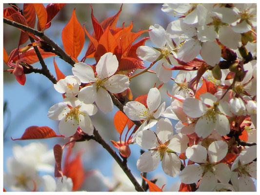 ♡ Livie Spring flowers 山桜