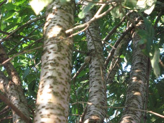 ♡ かたつむりとしだれ八重桜の幹