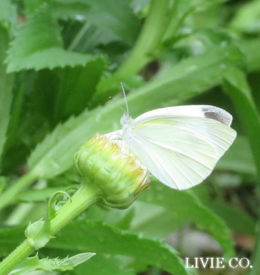 白い蝶 LIVIE CO.