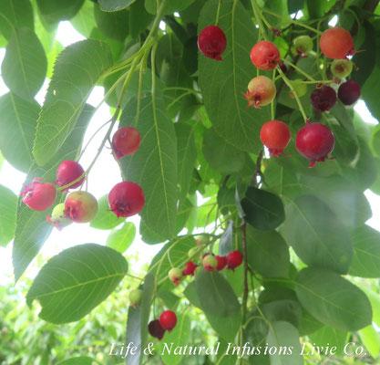 季節の花々 ジューンベリー Life & Natural Infusions Livie Co.