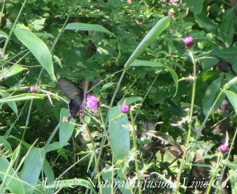 ♡ 蝶とノアザミと笹