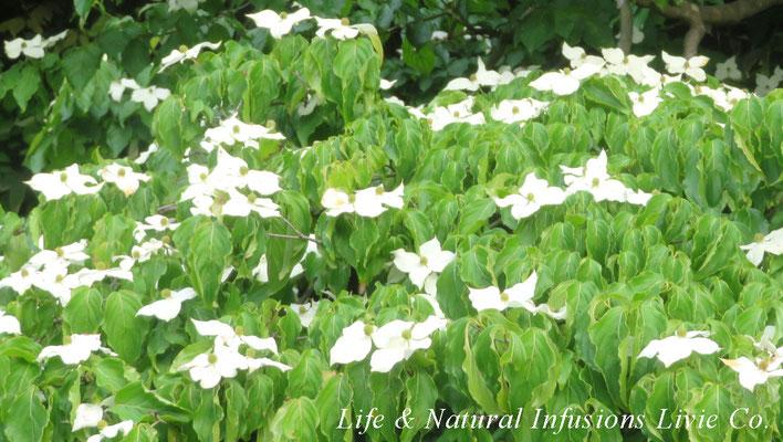 季節の花々 ヤマボウシ Life & Natural Infusions Livie Co.