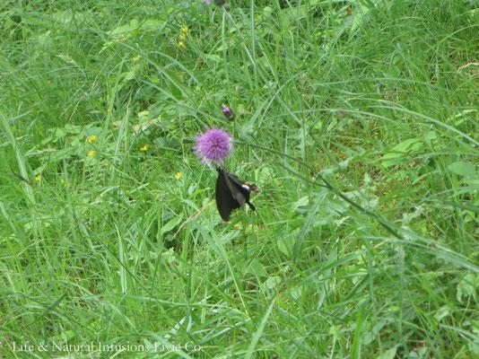 ♡ 野薊と蝶