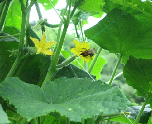 ♡ キュウリのお花と蜜蜂