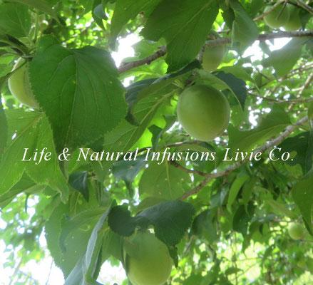 季節の花々 梅 Life & Natural Infusions Livie Co.