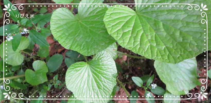 ♡ りびえ米 LIVIE MAI 山の麓のわさび菜(5月)