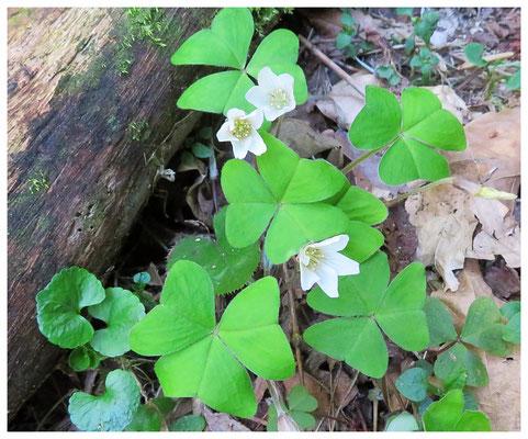 ♡ Livie Spring flowers 三つ葉