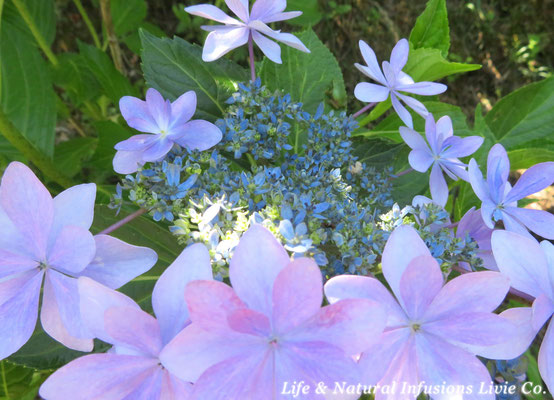 Hydrangea hybrida ♪ Dance Party ♪ Life & Natural Infusion's Livie Co.