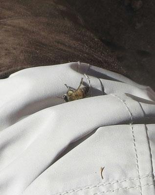 ♡ ハクアハラバレーのミツバチが私のパンツでひだまりぼっこ
