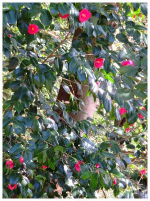 ♡ Livie Spring flowers 山椿