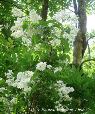 季節の花々 ウツギ Life & Natural Infusions Livie Co.