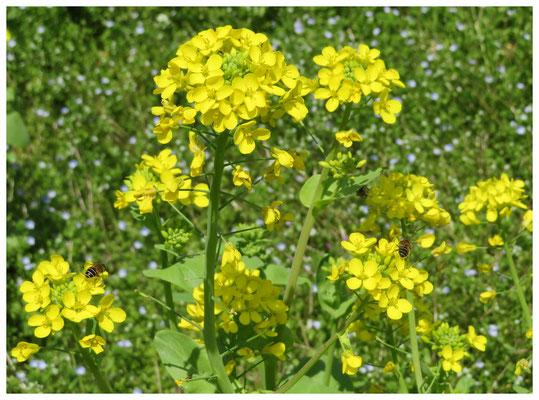 ♡ Livie Spring flowers 菜の花