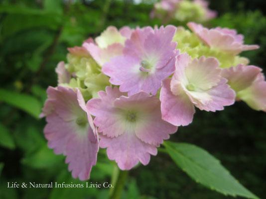 ♡ 紫陽花