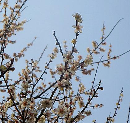 ♡ 自然美 Livie Spiritual Beauty ♥ 梅とミツバチ