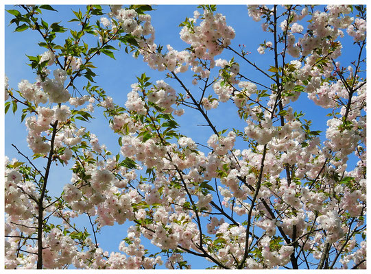 ♡ Livie Spring flowers 牡丹桜