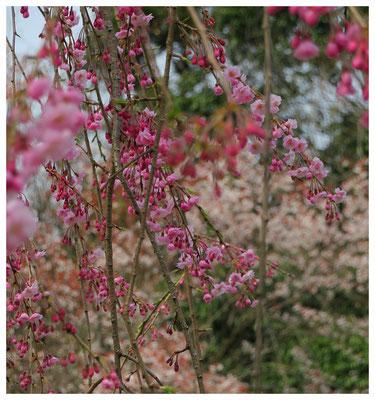 ♡ Livie Spring flowers しだれ桜