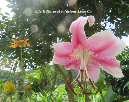 JULY 7月 Life & Natural Infusions Livie Co.