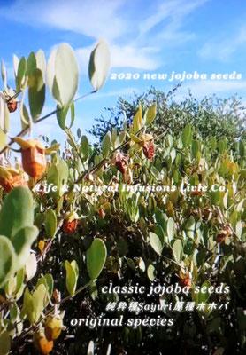 CLASSIC JOJOBA ORIGINAL SPECIES 純粋種Sayuri原種ホホバ スーパービューティーゴールデンホホバオイル Life & Natural Infusions Livie Co. 於: 原種ホホバの聖地アリゾナ州ハクアハラヴァレー