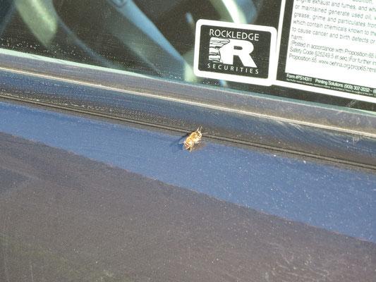 ♡ 車のドアでもミツバチのひだまりぼっこしてました